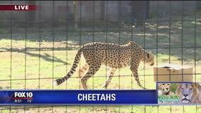 Cheetahs at Wildlife World Zoo