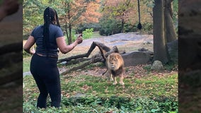 Woman climbs into lion exhibit at Bronx Zoo, taunts and dances for lion just feet away