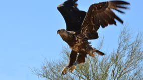 Fewer bald eagles hatch in Arizona in 2019, from 87 to 71
