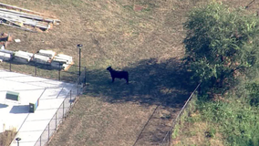 Bull captured by owner in West Baltimore
