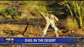 Duel in the desert: Jackrabbits boxing on camera
