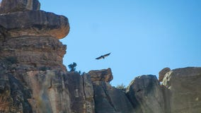 California condor chick is 5th found in Southwest in 2019