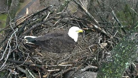 Bald eagle breeding areas in Arizona to close for nesting