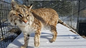 Montana fishermen catch live bobcat in fishing net on lake