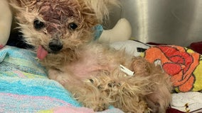 Senior dog 'Pringles' dies after being found inside North Philly trash can with severe head trauma