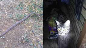 Tennessee man, 81, saved by shelter cat when venomous snake slithers in