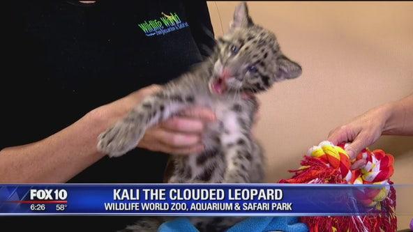 Critter Corner: Kali the clouded leopard