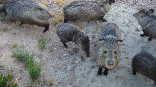 Javelina bites Tucson woman who was feeding it table scraps, wildlife officials say