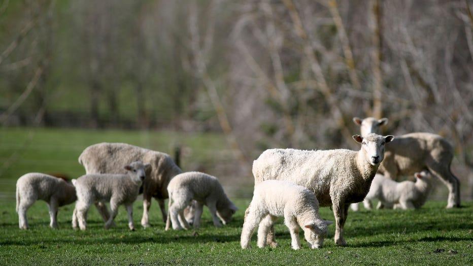 GETTY-Lamb.jpg
