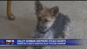 Valley German shepherd stuck in 'perpetual puppyhood' due to rare genetic condition