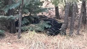 Arizona game officials search for whoever killed black bear