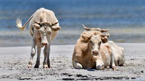 3 cows feared dead after being swept away by Hurricane Dorian are spotted on North Carolina Outer Banks