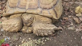 Moose the tortoise goes missing from San Jose home, again