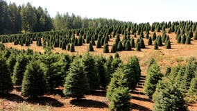 Christmas tree prices remain high due to low supply