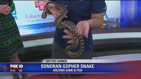 Critter Corner: Sonoran Gopher Snake