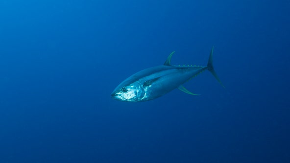 FDA recommends tossing of certain tuna fish due to fish poisoning risks