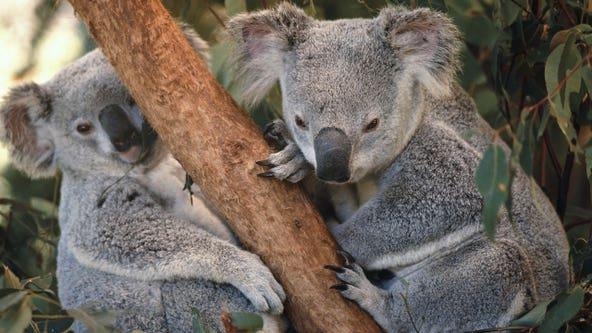 About 350 koalas feared dead in raging Australian wildfires