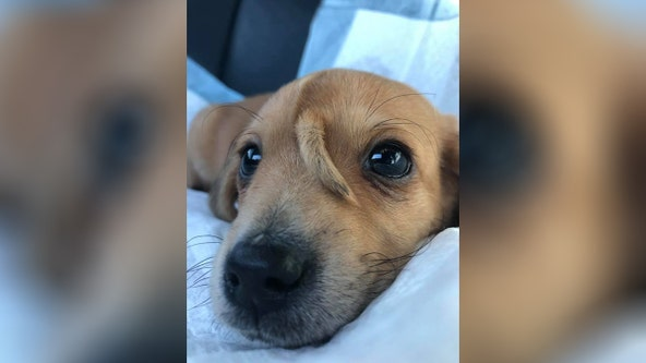 'Magical unicorn puppy': 10-week-old golden retriever 'puppercorn' born with tail on forehead