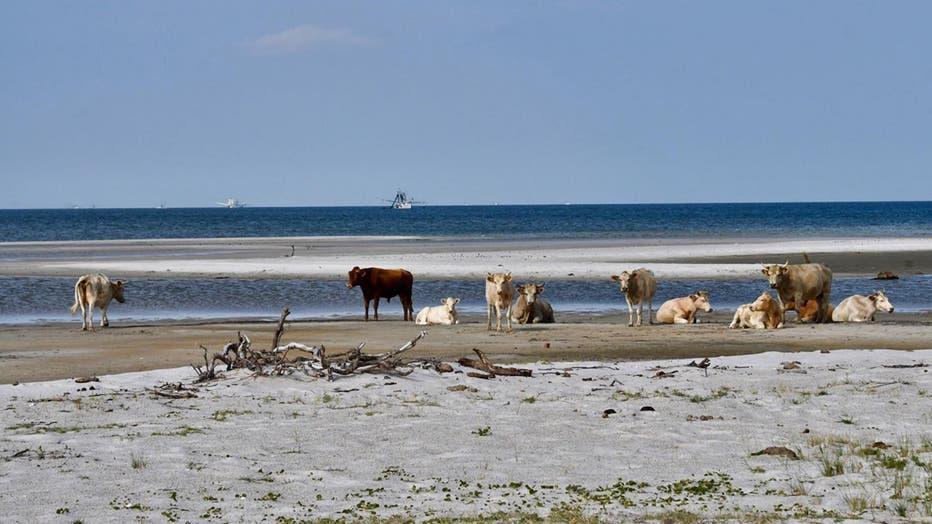 Cedar-Island-Cows-1.jpg