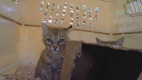 Baby bobcats found by group of hikers in Maricopa County