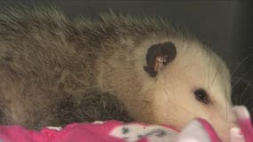 'Freeway' the opossum rescued on I-10 is getting the love and care she needs