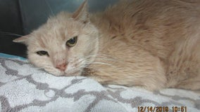 Chandler Police: Cat found with metal trap attached to its leg