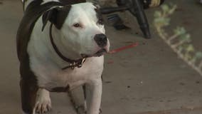 Abandoned dog: Youngtown man says neighbors left pit bull behind