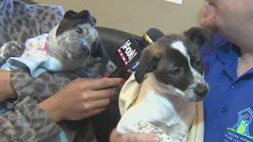 2 puppies rescued at Canyon de Chelly in northeastern Arizona given 2nd chance at life