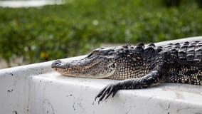 Judge blocks California's alligator ban after Louisiana sues
