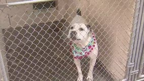 'Calm the Canines': Volunteers needed at Maricopa County Animal Care & Control shelters on New Year's Eve