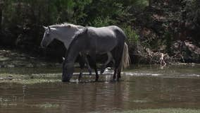 Advocacy group says fencing along Lower Salt River poses danger to wild horses and the public