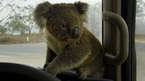 Volunteers knit koala mittens, joey pouches for Australia wildlife injured by bushfires