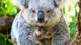 South Florida zoo celebrates birth of baby koala