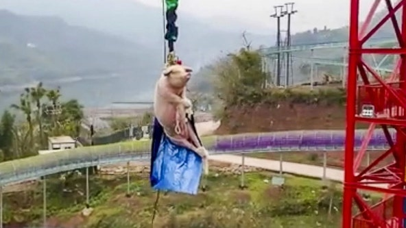 Chinese theme park sparks international backlash after forcing pig to bungee jump