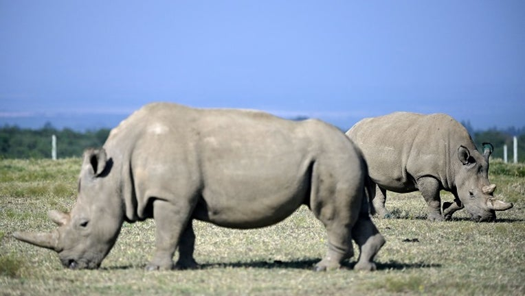 Fatu (background), 19, and her mother Najin, 30, two female northern white rhinos, the last two northern white rhinos left on the planet, graze in their secured paddock on August 23, 2019 at the Ol Pejeta Conservancy in Nanyuki, 147 kilometres north of the Kenyan capital, Nairobi.