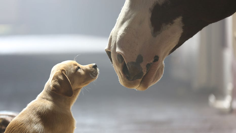 """A 10-week old puppy and a Clydesdale are pictured in Budweiser's """"Puppy Love"""" commercial that aired during Super Bowl XLVIII. (Photo credit: Anheuser-Busch)"""