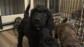 Online searches for poodles double after poodle wins Best in Show at Westminster