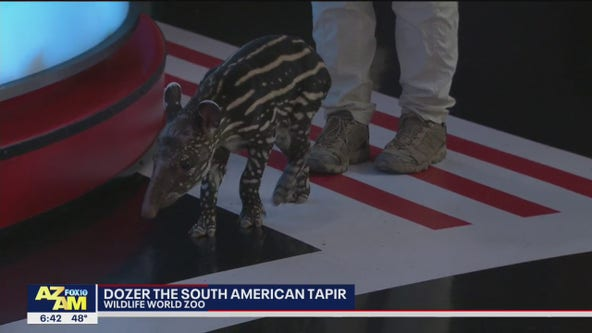 Critter Corner: Dozer the South American Tapir