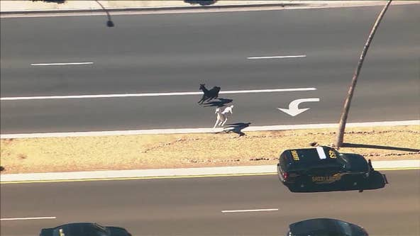 5 years following #llamadrama, 1 of the 2 is still doing well in Chino Valley