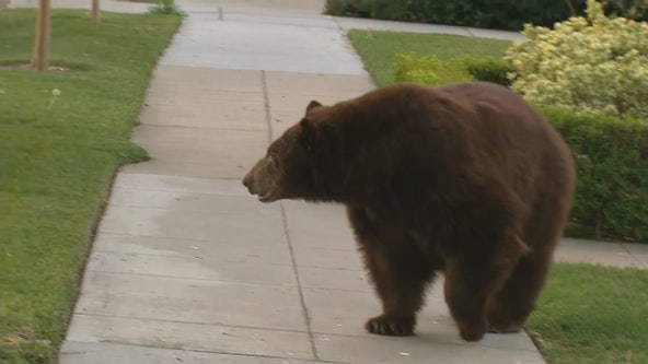 Large black bear spotted roaming in Monrovia second day in a row