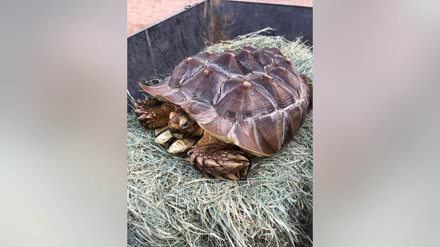 Tortoise left for dead being nursed back to health by Phoenix Herpetological Society