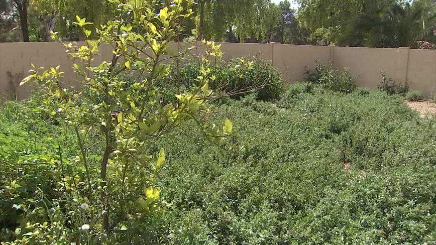 Following major rainstorm, Valley homeowners dealing with explosion of weeds