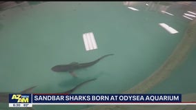 Community Cares: OdySea Aquarium welcomes birth of baby sharks
