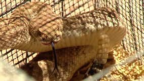 Rattlesnakes coming out of hibernation thanks to rising temperatures in the Valley