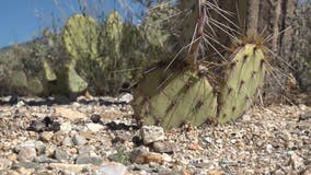 Dozens of Arizona's iconic cactuses are being illegally dug up and sold across the world
