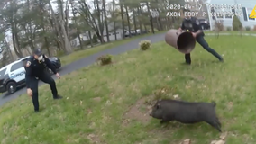 Pig leads police officers on 45-minute pursuit before capture