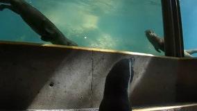Adventurous penguin meets Oregon Zoo otters