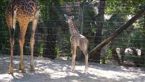 125-pound giraffe calf born at Brevard Zoo in Melbourne