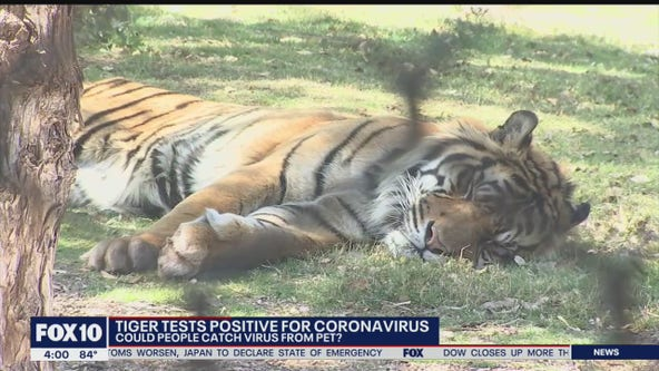 New York tiger contracts COVID-19 from a human, vet says it can happen to house cats too