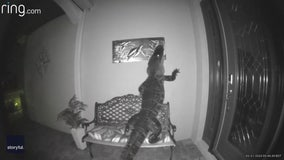 Large alligator pays a visit to the front porch of a Venice home